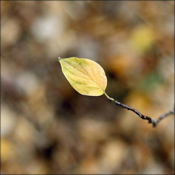 A photograph of a single autumn leaf on a twig above a blurred background of fallen leaves.