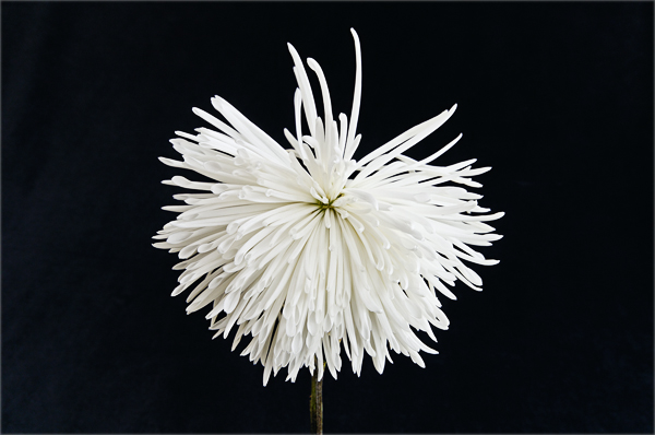 A bedraggled white chrysanthemum.