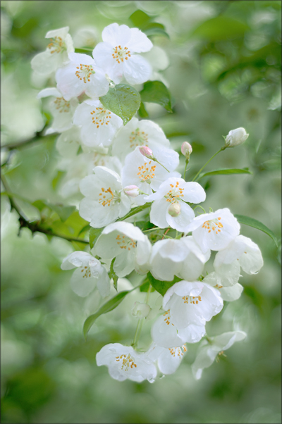 "A spray of white crabapples blossoms in the shape of an ""s""."