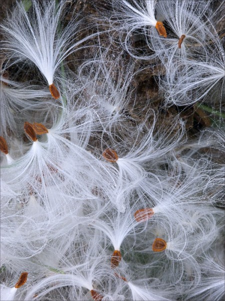 Arching milkweed tufts artfully arranged on the ground.