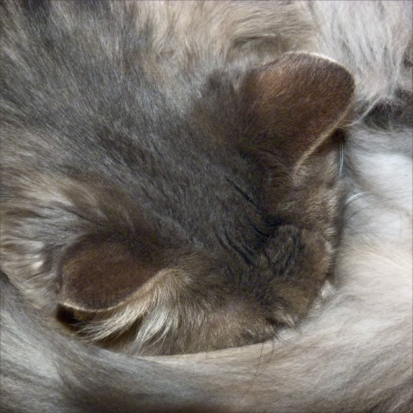A long-haired cat napping with her tail wrapped around her nose.