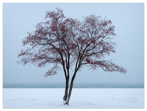 A crabapple tree laden with fruit after a snowfall on the shore of Lake Michigan.
