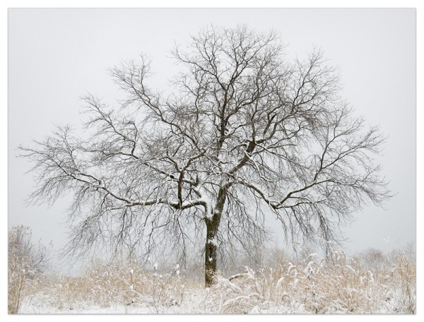 A barren tree in a field after winter's first snow.