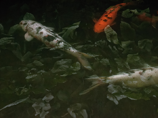 three carp swimming in a dark pool