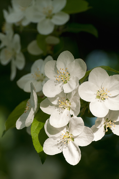 Crabapple Blossoms ©2013 by April Siegfried
