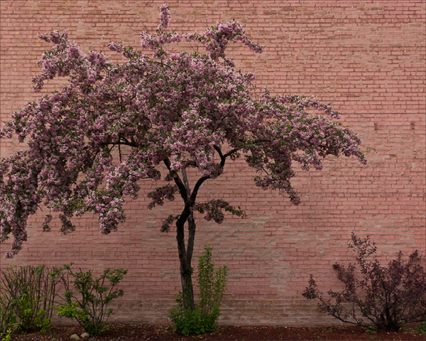 Crabapple Tree ©2014 April Siegfried
